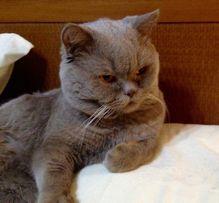 Шотландский прямоухий (скотиш страйт) кот приглашает на вязку