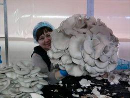 Мицелий грибов, мицелий вешенки. Грибные блоки, Вешенка.