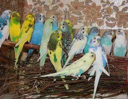 Волнистые попугайчики дешево!!!