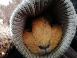 Looking for a guinea pig
