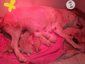 Goldedor puppies for sale