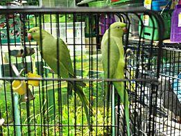 Красивейшие ожереловые попугаи в наличии молодняк и взрослые пары!!!