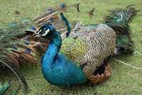 Image of Peacocks