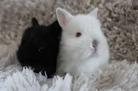 Pure bred Netherland dwarf bunnies for sale