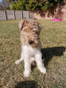 Wire haired terrier female puppy
