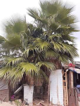 Palms Trees for sale