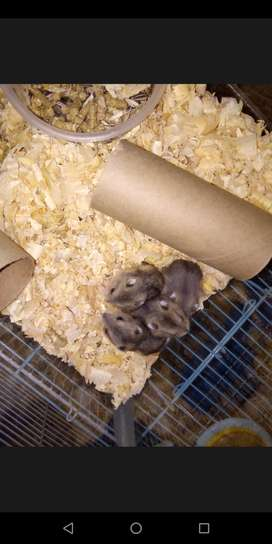 Cute baby dwarf hamsters for sale