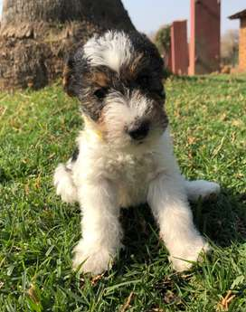 Wired Haired Terriers (Female)