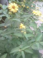 Продам садовую желтую ромашку