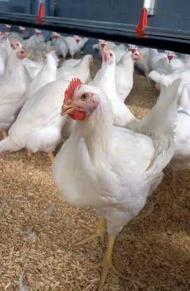 Broiler chicken for sale