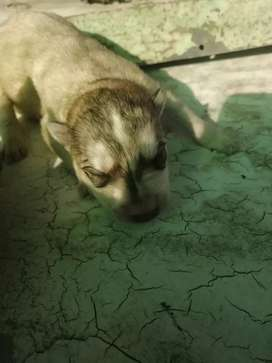 Husky Alsation Puppies For Sale
