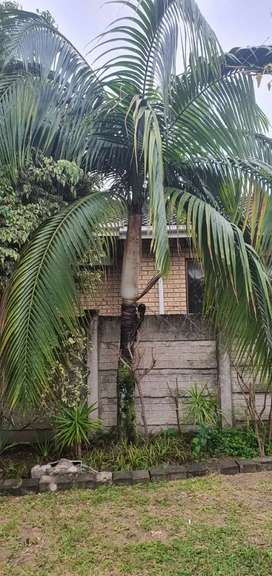 Palm trees Forsale