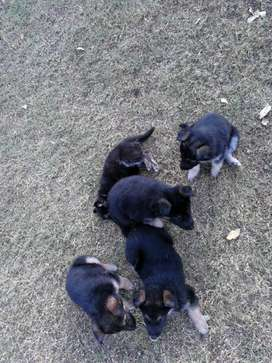 German Shepherd puppies /Alsatian