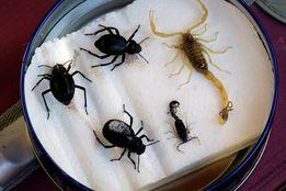 Замороженные скорпионы (Leiurus quinquestriatus), жуки и паук волк