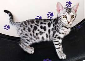 Beautiful 12 week old Bengal kittens born on the 30 August 2021 for sa