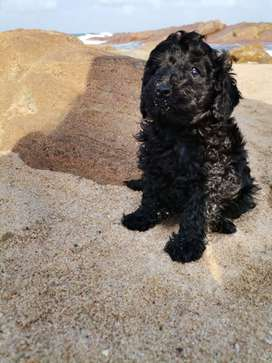 PUREBRED TOY FRENCH POODLE MALE PUPPY