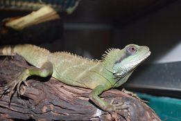 Водяная агама – ящірка для дорослих та дітей