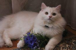 Кот белый турецкая ангора ищет невесту.