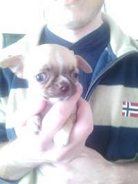 Image of Chihuahua Puppies For Sale
