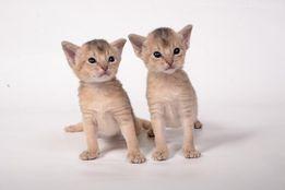 Абиссинский котенок - домашняя кошка в диком обличии