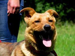 T O F I K rudy krótkowłosy aktywny przyjazny pies