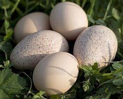 Продам инкубационные яйца индюков