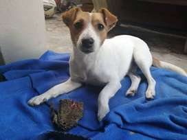 MISISNG JACK RUSSEL