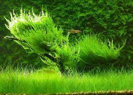 Erect Moss - porcja -