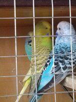 Папуги виставочні