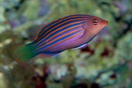 Pseudocheilinus hexataenia Nemo Łańcut