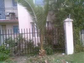 Palm tree (2 meters high)- beautifully trimmed-down for easy transport