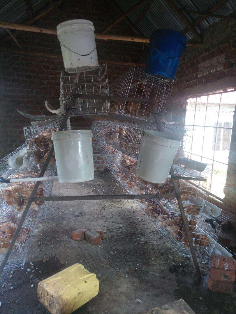 Chicken cages 0