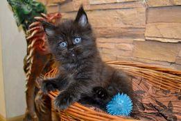 Нам месяц и 10 дней, Ваше счастье в дом на новый год-котенок Мейн-кун!