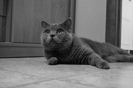 Кот из клуба, Чемпион, ждёт кошечек на вязку