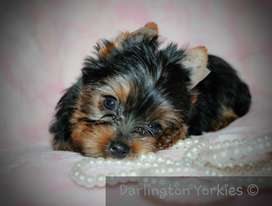 Yorkie Pocket Female