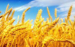 Пшеница, ячмень, отруби. Комбикорма Feed&Life и НОРМАplus