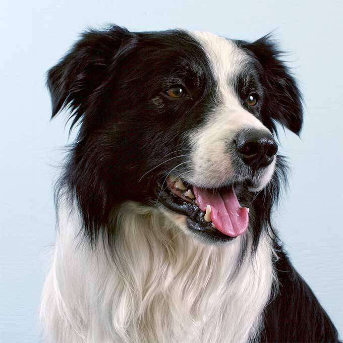 looking for a border collie pup