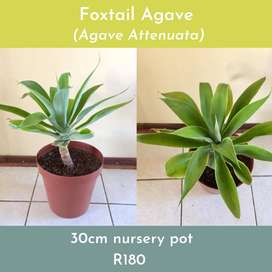 Foxtail Agave plant