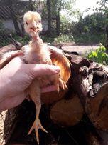 Курчата Цыплята Циплята Кури Куры Несушка Несучка
