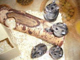 Карликовыкые хомячки джунгарики ,королевские хомячки + Клетка от 165г.