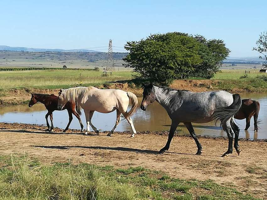 Horses for sale 0
