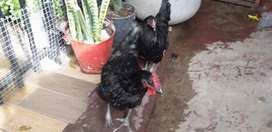 Hen and Rooster Australorps
