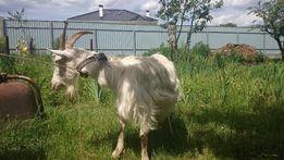 Продается коза