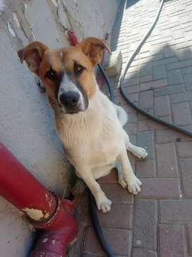 Male Jack Russell