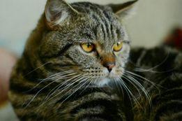 Вязка. котик Британець