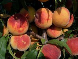 саженцы персика,нектарина,сливы,алычи,яблок,груш,айвы. Опт, розница