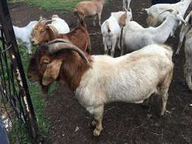 Boergoat ram for sale