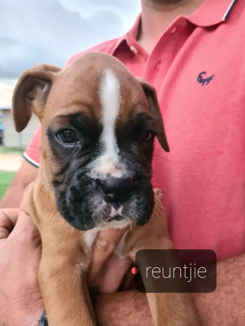 Boxer Puppies for sale 0