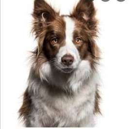 Looking for a brow border collie