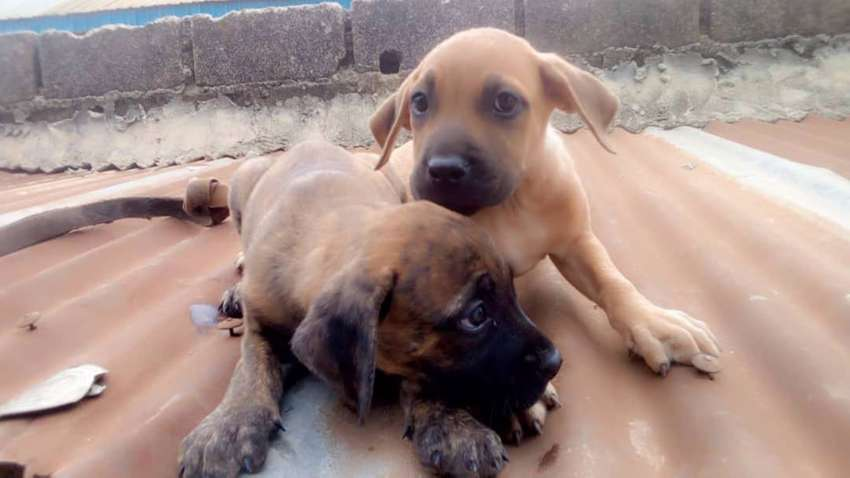 Purebreed male and female boerboel puppies for sale. 0